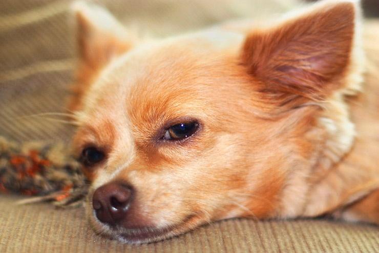Болезни собак — чем опасны укусы клещей